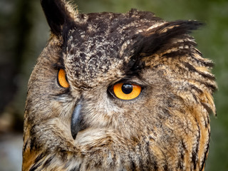 closeup of eagle owl with orange eyes