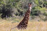 Giraffe 12 - 243390196