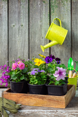 Leinwandbild Motiv Seedlings of garden plants and flowerpots flowers in wooden crate. Garden equipment. Hanging watering can with pink Dahlia flower on old wooden wall of garden shed.