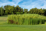 Green tall reed on a meadow with grass in the background forest with trees and blue sky. - 243395316