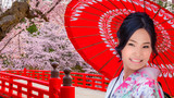 Japanese woman in Kimono dress with Full bloom Sakura - Cherry Blossom at Hirosaki park, Japan