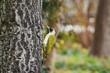 Green Woodpecker on the Tree
