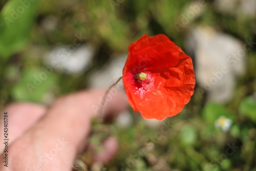 red poppy in field - 243405784