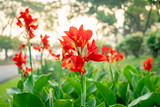 Majestic red canna lilies in an outdoor park