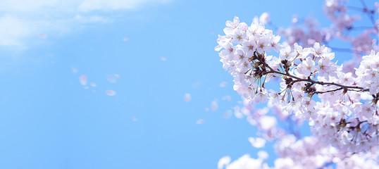 青空に舞う満開の桜  © imagefuji