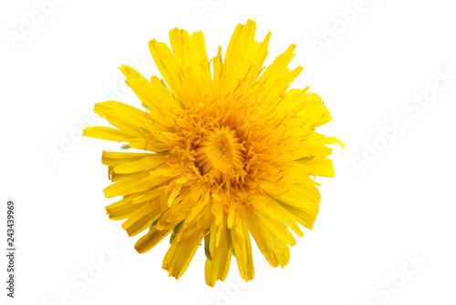 dandelion flower isolated - 243439969