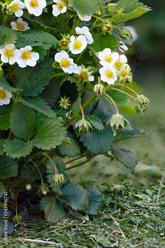 Blossoming strawberries in the summer garden.