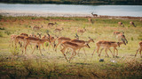 Fototapeta Sawanna - Laufende Impala Antilopen im Überschwemmungsgebiet des Chobe, Chobe Flood Plains, Botswana © Michael