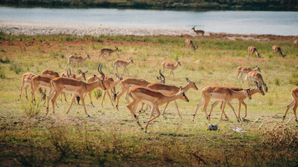 Laufende Impala Antilopen im Überschwemmungsgebiet des Chobe, Chobe Flood Plains, Botswana