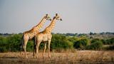 Zwei Giraffen in die Ebene schauend, Chobe Flood Plains, Botswana - 243451931