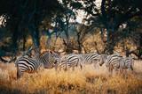 Fototapeta Fototapeta z zebrą - Gruppe Zebras in einem lichten Wald im Moremi National Park bei Sonnenuntergang, Okavango Delta, Botswana © Michael