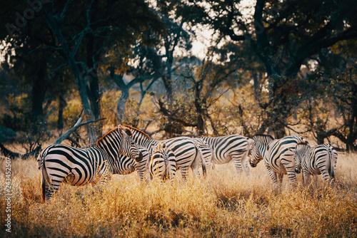 Gruppe Zebras in einem lichten Wald im Moremi National Park bei Sonnenuntergang, Okavango Delta, Botswana - 243452507