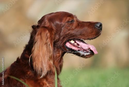 obraz PCV Cute drooling irish setter pet dog panting