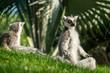 Lemur catta profile view having sunbathe in yoga position