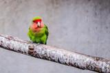 Oiseau coloré, inséparables - 243461951