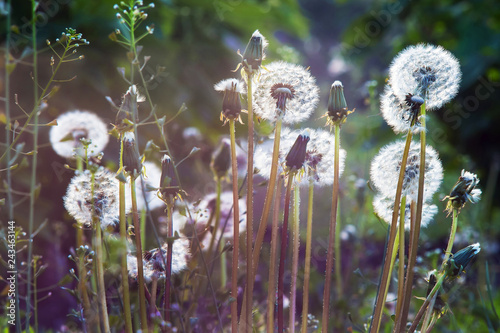 Dandelion with seeds on a dark background against the sun_ - 243463144
