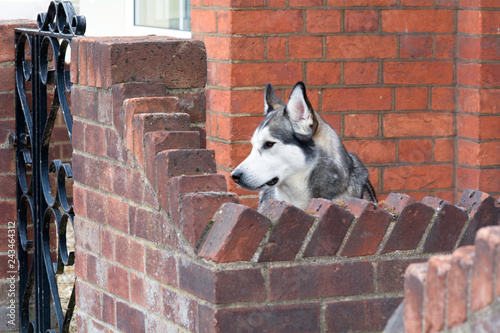 Malamute dog looking over garden wall - 243464312
