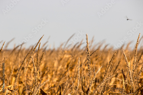 Wheat Field Ready to be Processed for Grain in Rural Kansas