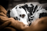 Dalmatiner döst auf der Couch