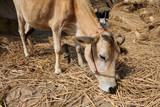 Cattle grazing in village Kumrokhali, West Bengal, India