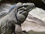 Portrait of a large male Rhinoceros iguana, Cyclura cornuta - 243471543