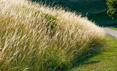Gräser am Wegrand
