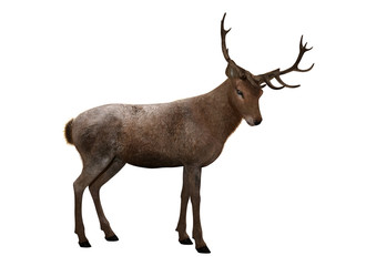 3D Rendering Male Deer on White © photosvac