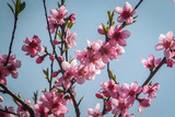Beautiful pink flowers blooming peach. A lot of flowers in sunny blue sky. Selective focus.The enthusiastic theme of the coming spring. - 243481798