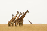 Giraffes in the Serengeti - A herd of young males can often be seen, always their eyes fixed on the photographer. - 243488587
