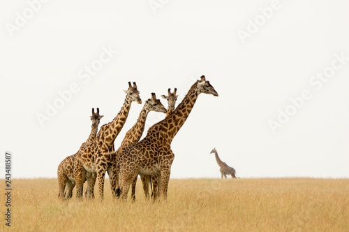 Giraffes in the Serengeti - A herd of young males can often be seen, always their eyes fixed on the photographer.