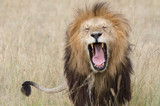 Sleepy lion - You will find yawning lions in abundance on the Serengeti - Tanzania. - 243489146