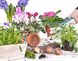 flowerpot held by hands of woman potting plants above a garden table on white background
