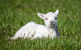 Cute young sheep laid down on green grass - 243513584