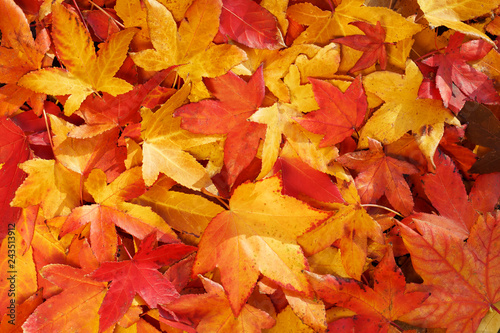 Bright, warm autumn foliage of yellow color on the earth in sunny weather. Warm autumn day background - 243513912