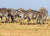Flock of Zebras grazing on the savannah - 243523348