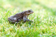 European common toad sitting in the grass at sunny day. (Bufo bufo). Selective, soft focus.