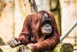 orangotango - 243530915