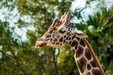 portrait of giraffe - 243530964