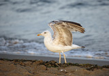 seagull with long legs and open wings on the beach