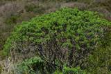 Cespuglio di Euforbia arborea (Euphorbia dendroides) nella macchia mediterranea - 243543922
