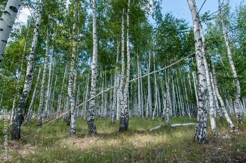 walking in the summer birch forest is very useful for health living in the metropolis
