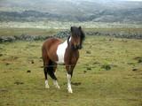Icelandic horse - 243550364