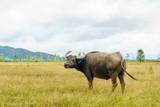 Water Buffalo in the field.