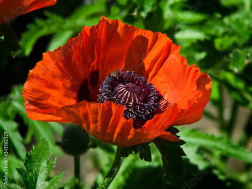 Red poppy flower blooming in the garden. - 243562329