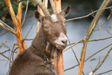 funny and friendly goat with big horns - 243564314
