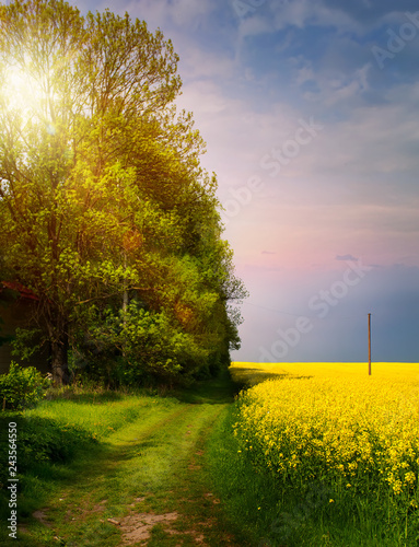 spring countryside landscape; sunrise over blooming yellow field