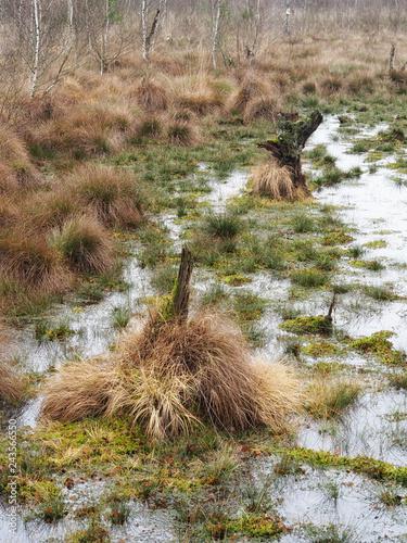 Totes Moor - Birken und Gräser, Deutschland  - 243566550