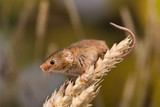 Brown harvest Mouse - 243569512