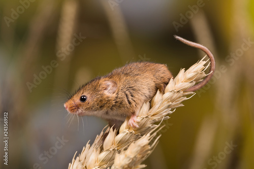 Brown harvest Mouse