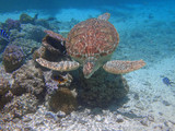 Underwater view of a tropical sea turtle in the Bora Bora lagoon, French Polynesia - 243569738